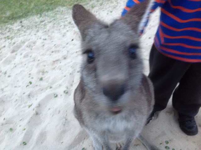 kangaroo close up.JPG